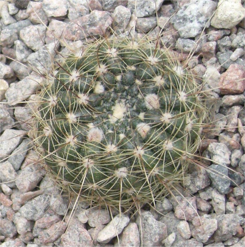 http://www.notocactus.eu/images/easyblog_images/75/conc_LB_2625.jpg