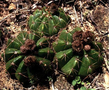 Notocactus oxycostatus fa miniatispinus