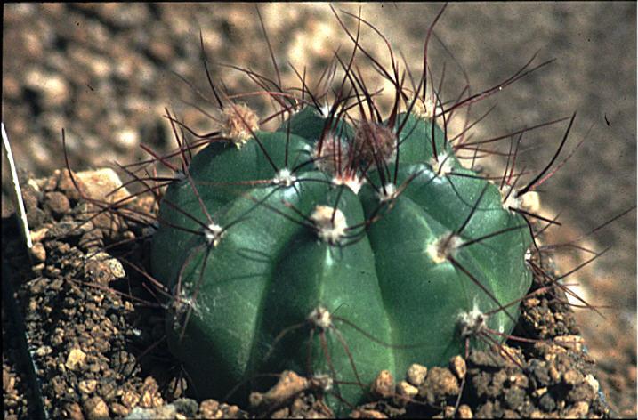 Notocactus oxycostatus var schuldtii